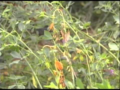 Scouting common alfalfa diseases scouting common alfalfa diseases mightylinksfo