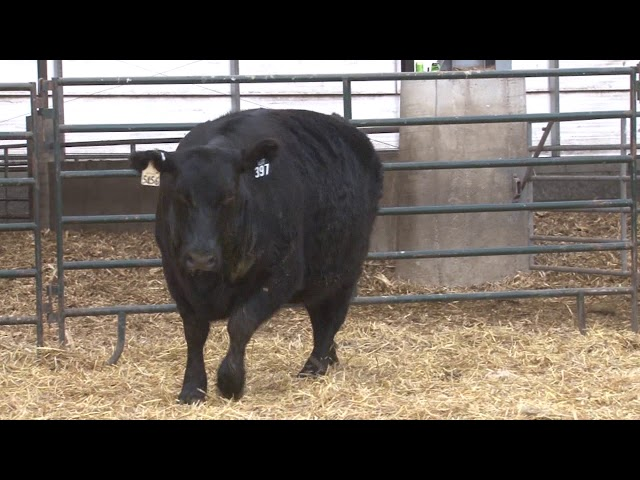 Schiefelbein Angus Farms Lot 397