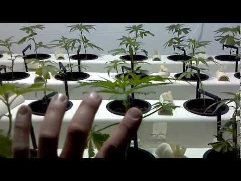 Sea Of Green Multi-Strain Grow - Part 1