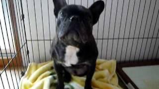 保護犬(フレブル)ハッピー 預かりブログhttp://i-love-kenta.blog.so-...
