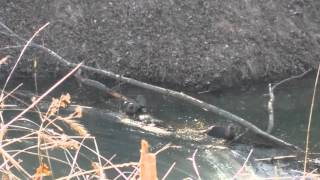 Western missouri forestry river otter video