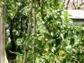 緑桜(みどりざくら)