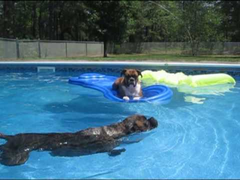 Boxer dogs swimming and floating on a pool raft!