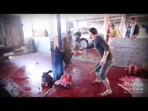 ✦SHOCKING INVESTIGATION AUSTRALIAN CATTLE IN GAZA-2014✦