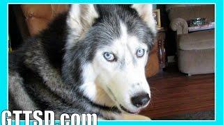 Siberian Husky Goes Crazy | Caught On Hidden Camera | Snow Dog Short 43