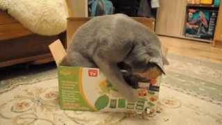 Русский голубой кот Karlo
