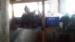 видео Породы черных кур: описание и фото