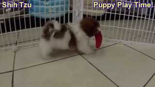 Shih Tzu, Puppies For Sale, In, Nashville, Tennessee, Tn, County, 19breeders, Knoxville, Smith
