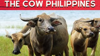 Carabao and the Cow Philippines - ABS-CBN News