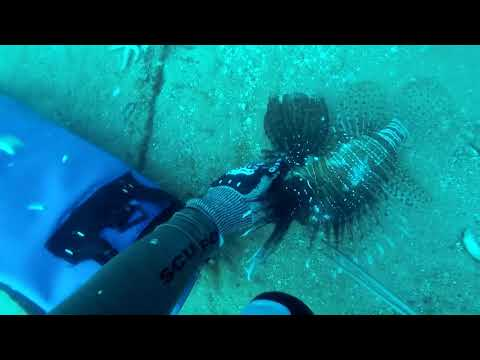 50 Pounds Of Lionfish On One Dive