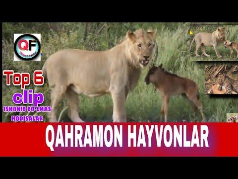 DUNYODAGI QAHRAMON HAYVONLAR TOP 6 TALIK!   Unbelievable moment about animals top 6