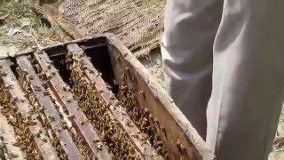 madhumakhi nu navi sheet deni part 2 मधुमखी को नई शीट देनी पार्ट २