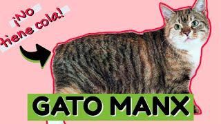 Gato MANX: Un gato que NO TIENE COLA!!  | Mundo de Gatos