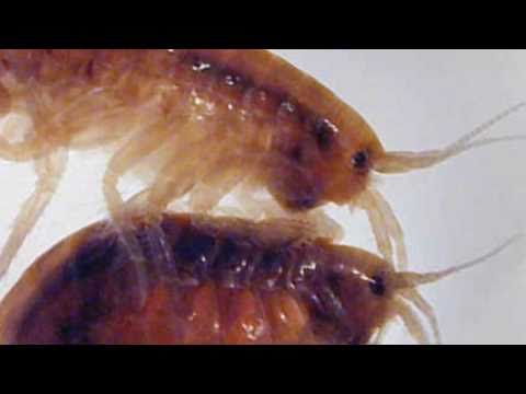 Sally Jo's Amphipod Lesson Number One