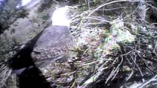 Humboldt Bay Eagles,both parents on nest,fish is still alive lol,2/25/13