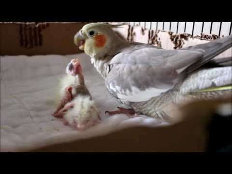 Baby Cockatiels Day 1 to 6