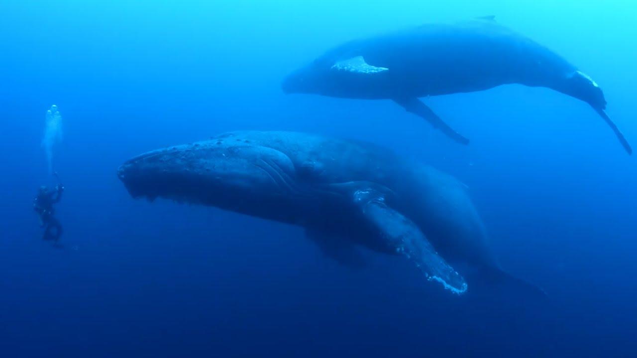 diver encounters sad humpback whale youtube