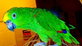 ОЧЕНЬ СМЕШНОЙ Говорящий Попугай   ХОХОЧЕТ И ПОЕТ  20.12.2012