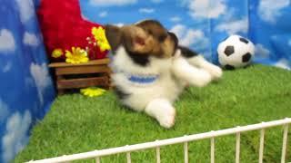 ペットショップ 犬の家 尼崎店 「78286:ウェルシュコーギー・ペンブロ...