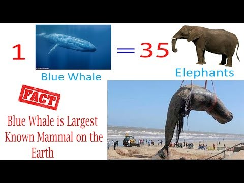 Blue-Whale Fish in Urdu Hindi ||Largest Animal in The World|| Mammals