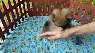 купить щенка шпица в Тольятти