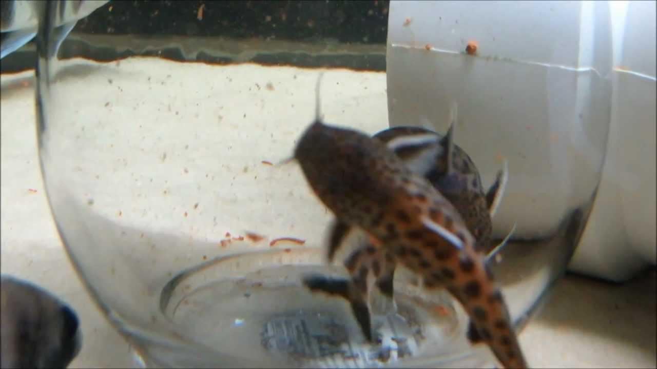 Synodontis petricola catfish