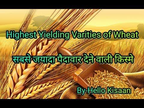 गेहु की सबसे जयादा पैदावार देने वाली किस्मे।।[ Highest Yielding Varities of Wheat ]