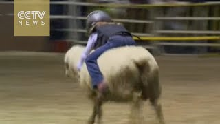Cute: Mutton busting lets kids become rodeo stars by riding sheep