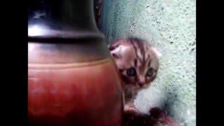 шотландский вислоухий котенок.Ярик.возраст меньше месяца.