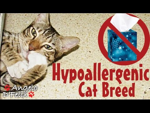 Hypoallergenic Cat Breed