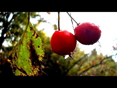 Wild Edibles- Hawthorn- Great for the Heart!
