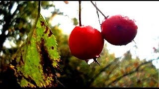 Wild Food Foraging- Hawthorn- Great For The Heart!