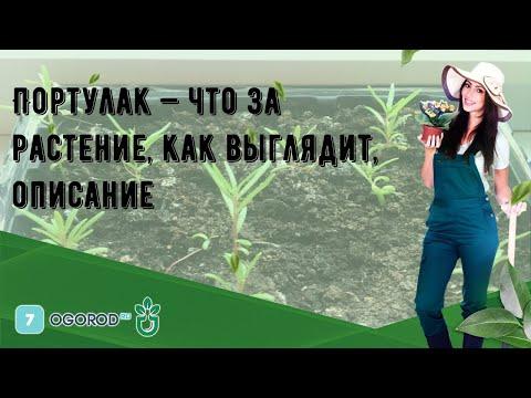 Вопрос: Авран лекарственный, что за растение, как выглядит?