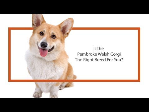 Is the Pembroke Welsh Corgi the right breed for you?