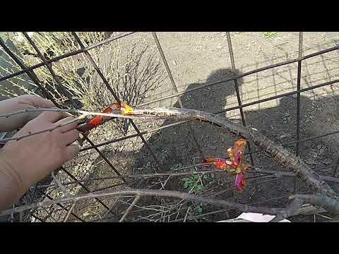Формировка кустовой вишни в веерную форму. Высветляющая обрезка. Эксперимент.