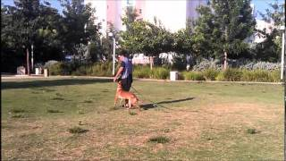 Malinois Obedience Training