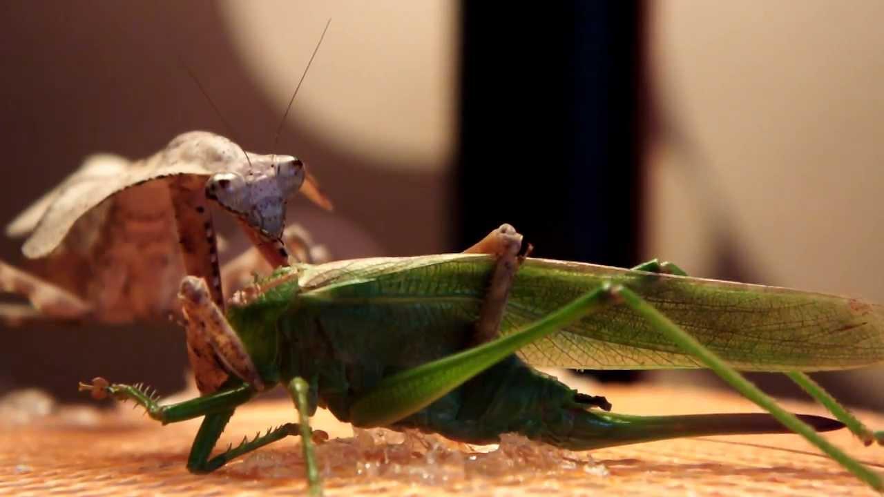 """ジラフアサシンバグ 擬態のスペシャリストであり最強のハンター """"ヒシムネカレハカマキリ"""" : Dangerous Insects"""