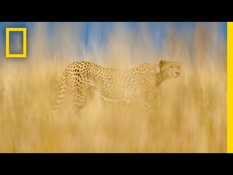 Frans Lanting & Christine Eckstrom: Cheetahs on the Brink | Nat Geo Live