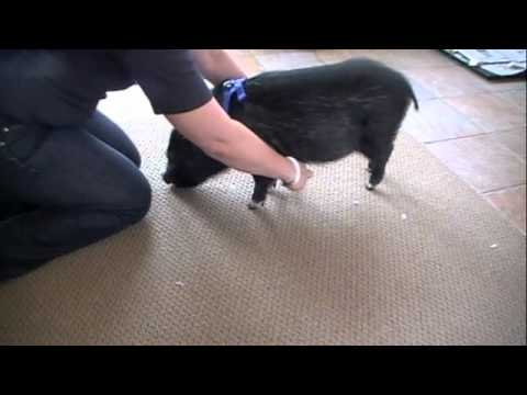 Conditioning Pig To Harness 1