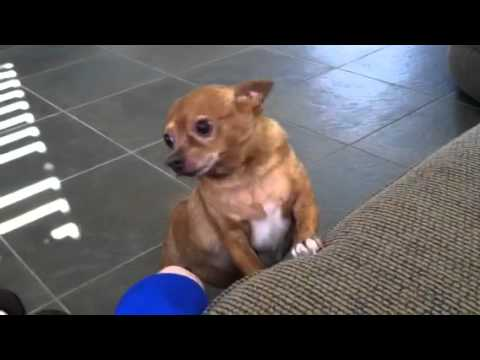 chihuahua fat fat chihuahuas can t jump youtube 4942