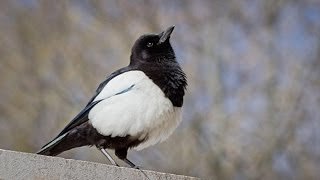 Most INTELLIGENT bird in the world - The Magpie