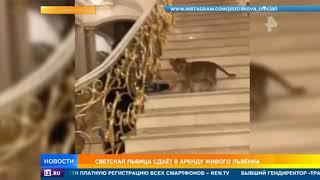 Жена пермского депутата сдает в аренду львенка