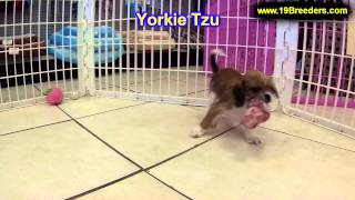 Yorkie Tzu, Puppies, For, Sale, In,omaha ,nebraska, Ne,lincoln, Bellevue, Grand Island