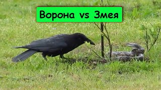 Версус. Ворон - птица умеющая разговаривать. Ворона против змеи, крысы.