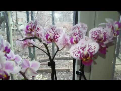 Орхидея .Результат  обработки почек цитокининовой пастой .