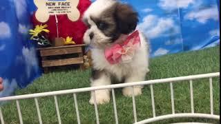 ペットショップ 犬の家 尼崎店 「90780」「シー・ズー」