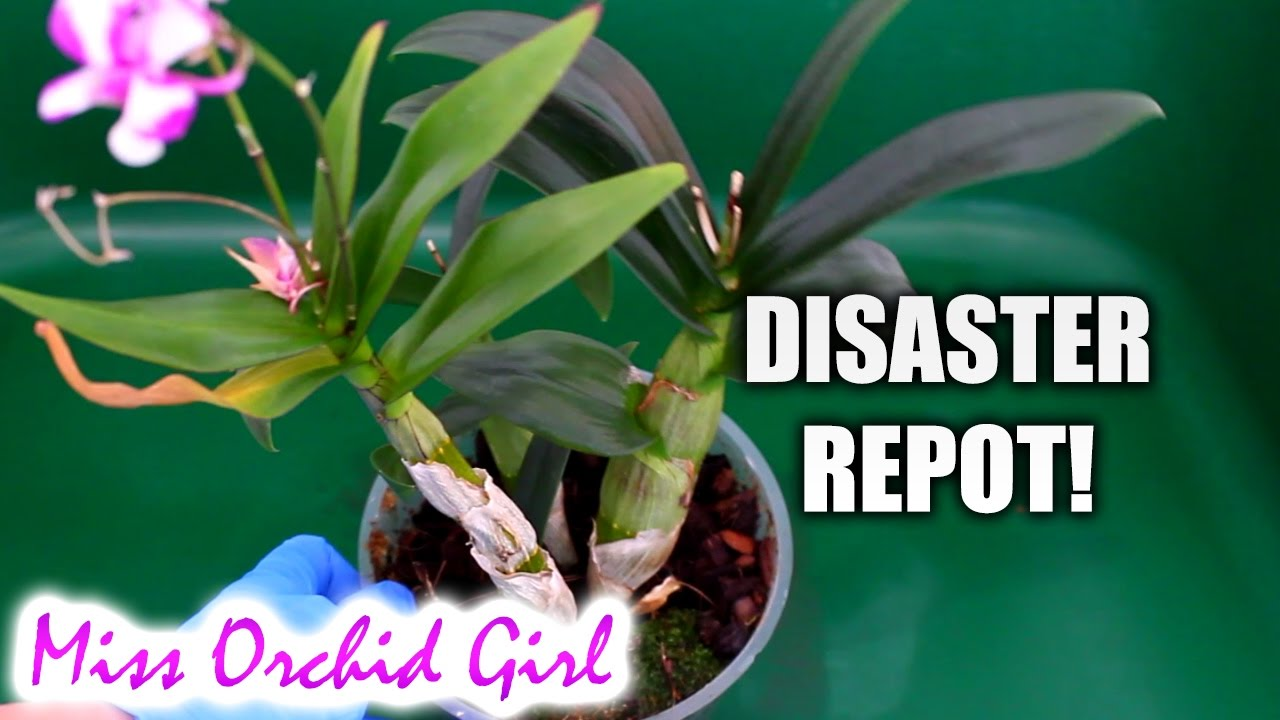 repotting mini dendrobium orchid what a disaster youtube. Black Bedroom Furniture Sets. Home Design Ideas