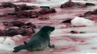 Commercial Seal Hunt Waste