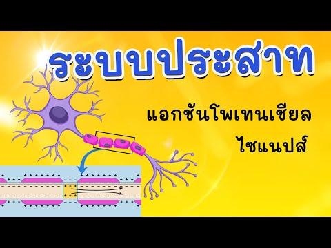 ระบบประสาท (การทำงานของเซลล์ประสาท)