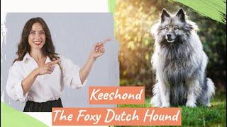 Keeshond – The Foxy Dutch Hound